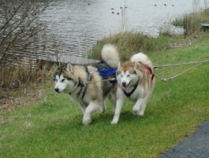 Leo (snowallen Thor de Lunartico WPD) & Savanna (Reina de las Nieves de Lunartico) working in harness.