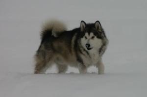 Leo - Snowallen Thor de Lunartico WPD