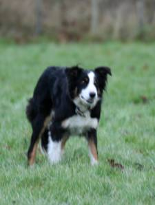 Sian the Sheepdog