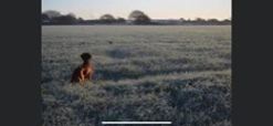 Rhia Tapper #pushyourmush working irish setter Wilma, working on partridge over the South Downs national park on a fabulous frosty clear morning x
