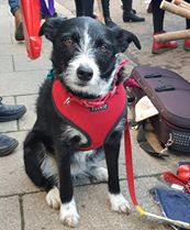 Janice Frankham - This is my Pets as Therapy and Morris dancing dog Jess. She is CSJ fed with thanks to Robin Pearson