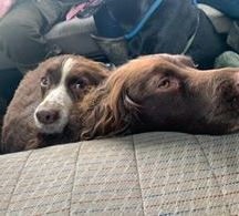 Laura Wood Pippa and Finn husband and wife working cocker spaniels that always have a snuggle on the shoot bus 💖