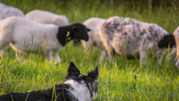 PRESS RELEASE – 'Ffermio: Treialon y Cwn'- an exciting new sheepdog competition on TV